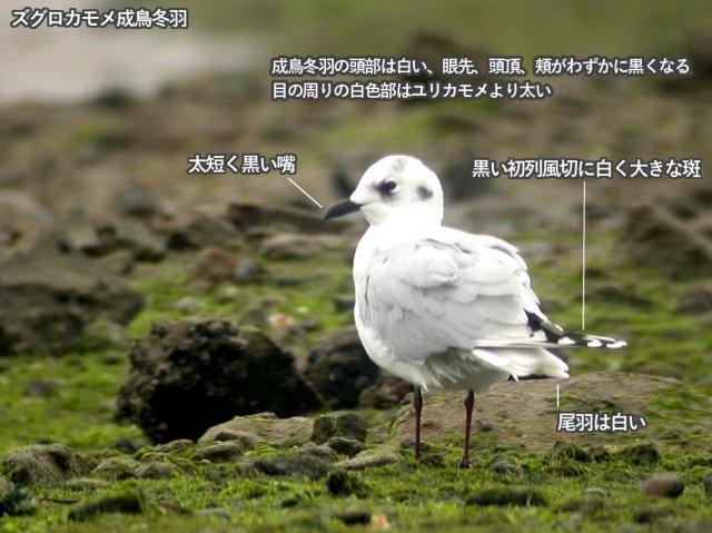 zugurokamome_nb